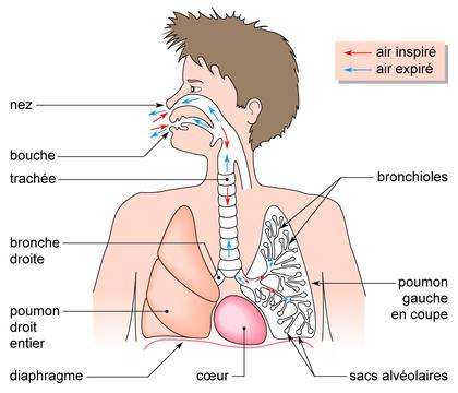 maladie respiratoire schéma