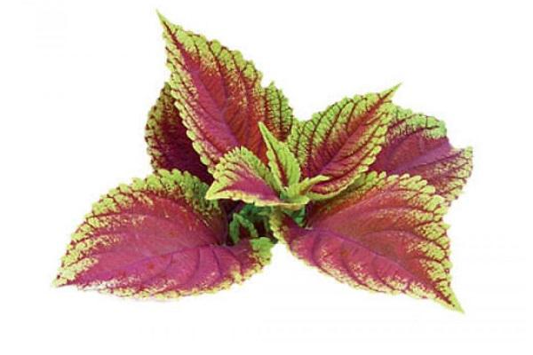 forskolin plante